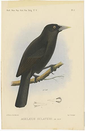 Antique Bird Print of an Ecuadorian Cacique by A.J.C. Dubois (c.1888)