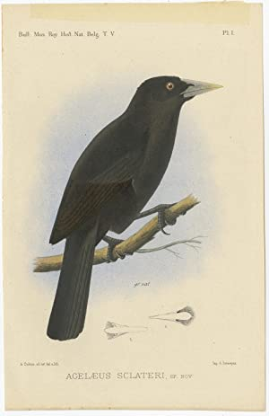 Antique Bird Print of an Ecuadorian Cacique II by A.J.C. Dubois (c.1888)