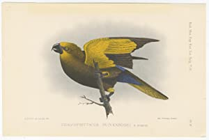 Antique Bird Print of a Brown Lory by A.J.C. Dubois (c.1888)