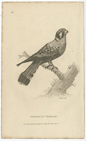 Antique Bird Print of an American Merlin by G. Kearsley (1808)