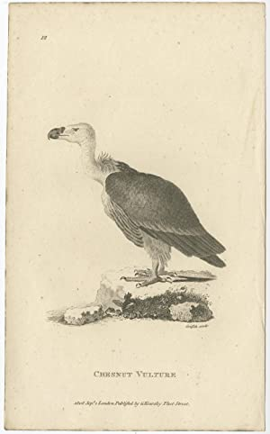 Antique Bird Print of a Chesnut Vulture by G. Kearsley (1808)