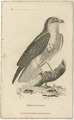 Antique Bird Print of a French Eagle by G. Kearsley (1808)