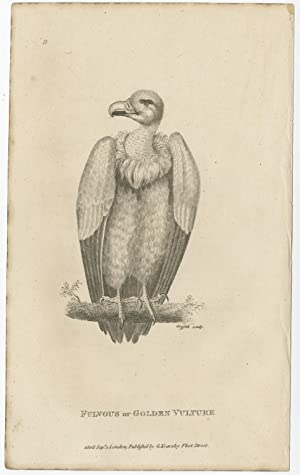 Antique Bird Print of a Golden Vulture by G. Kearsley (1808)