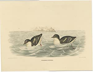 Antique bird Print of the Least Auk by D.G. Elliot (1869)