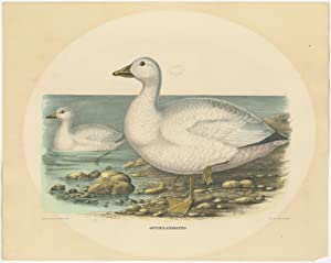 Antique Bird Print of Cassin's Snow Goose by Elliot (1869)