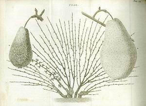 A Treatise on the Culture and Management of Fruit-Trees; in Which a New Method of Pruning and ...