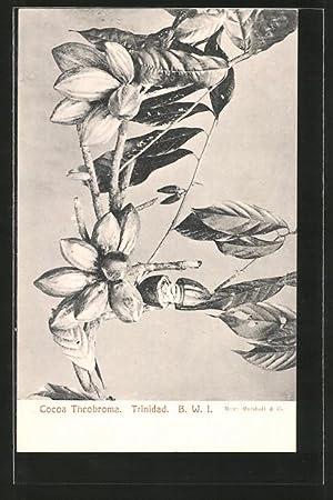 Postcard Trinidad, Kakao-Schoten am Baum