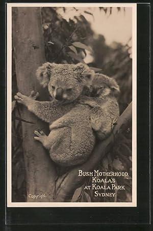 Ansichtskarte Sydney, Koalas im Koala-Park