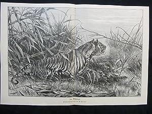 orig. Holzstich Im Dschungel - Tiger Originalzeichnung von R. Friese