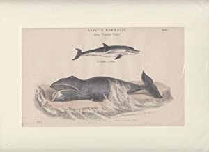 Orig. Holzstich. Aquatic Mammalia. Genera. Delphinus Balaena