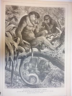 Orig. Holzstich - Affen - Die Nasenaffen des zoologischen Gartens zu Batavia.