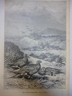 Orig. Holzstich - Hühner - Das asiatische Steppenhuhn. Von F. Specht.