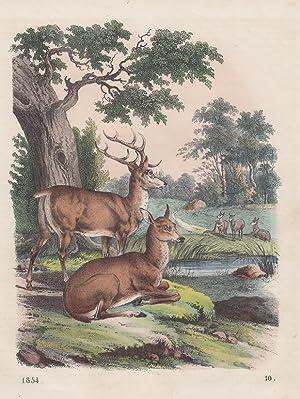 Orig. kolorierter Holzstich: Rotwild. Hirsch. Reh.