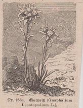 Orig. Holzstich: Edelweiß. Gnaphalium Leontopodium L. Nr.