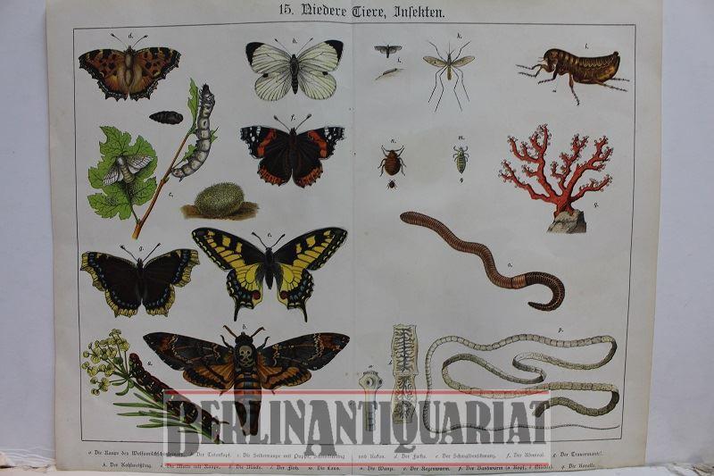 15. Niedere Tiere, Insekten. [Kolorierte Lithographien wohl: Schmetterlinge und :