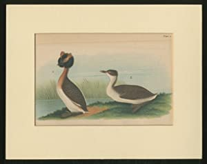 Color Lithograph]: Horned Grebe. Adult Male; Female: Warren, B.H.]