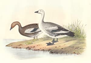 Engraved Color Lithograph of Bernicla Magellanica or a Pair of Magellan Geese