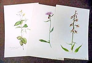 Blumen-Atlas. Einzelne Tafeln aus dem aus 300: Felsko, Elsa M./Reimers,H.: