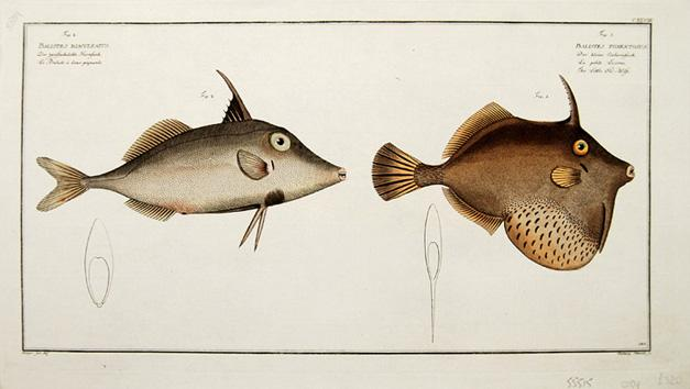 Balistes Biaculeatus and Balistes Tomentosus.: BLOCH, Marcus] KRUGER.