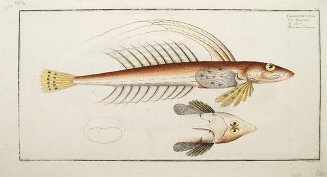 Callionymus Lyra.: BLOCH, Marcus] KRUGER.