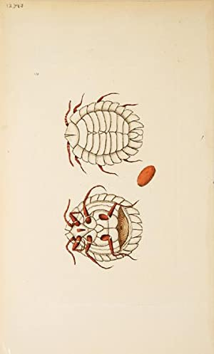The Mailed Coccus. The Naturalist's Miscellany.: NODDER, Frederick, & George Shaw (engrs.)