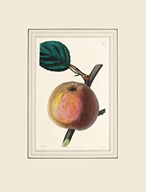 The Royal Russet Apple. Plate 125 with text.: LINDLEY, John.