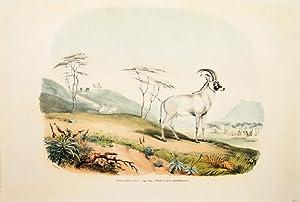 XVIII. Aigocerus Equina - The Roan Antelope.: HARRIS, Capt. William