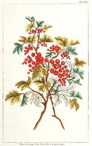 Ribes rubrum. Linn, Grosellier a grappes rouges. CIX.: BUCHOZ, Pierre Joseph.