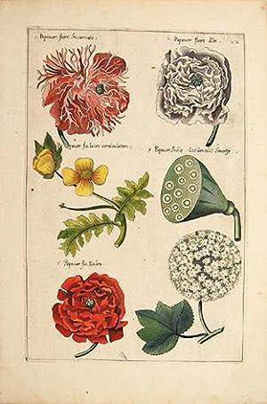 Poppies]. Plate 22.: SWEERT, Emanuel.