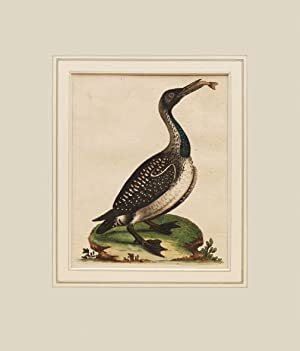 The speckled Diver, or Loon. Colymbus, Canadensis, Arcticus, Worm, Lumme Norwegis 146.: EDWARDS, ...