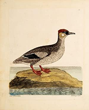 The Weazel Coot. Plate 88.: ALBIN, Eleazar.