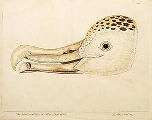The Head and Bill of the Man of War Bird. Plate 81.: ALBIN, Eleazar.