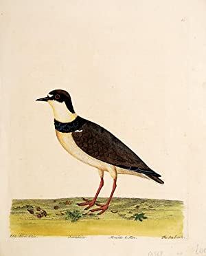 The Sea Lark. Plate 80.: ALBIN, Eleazar.