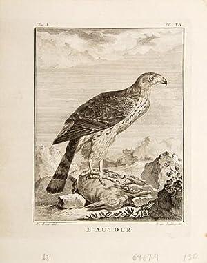 L'Autour. Pl XII.: BUFFON, Georges Louis Leclerc, comte de.