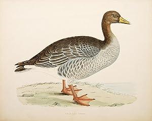 Gray-Lag Goose.: MORRIS, Beverly R.