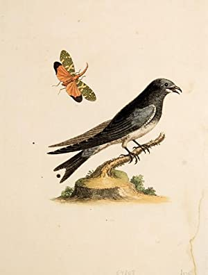 Untitled bird print.: EDWARDS, George.