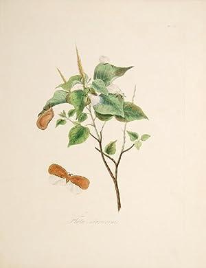 Flata Nigricornis. Pl. 17.: DONOVAN, E.