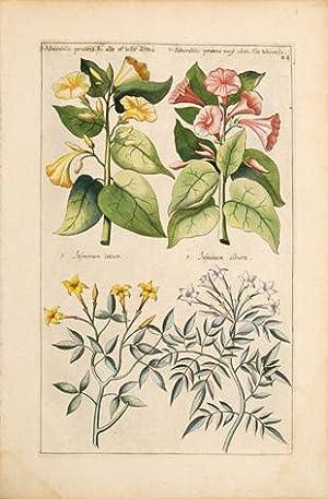 1.Admirabilis peruiana flo. albu et luteo distinct. 2. Admirabilis peruiana vary coloris Albo ...