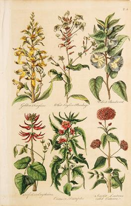 Golden Foxglove, White Ceylon Plumbago, Velvet Bindweed, Frifoliate Erythrina, Crimson Pentapetes, ...