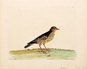 The Pippit or Small Lark. Plate 44.: ALBIN, Eleazar.