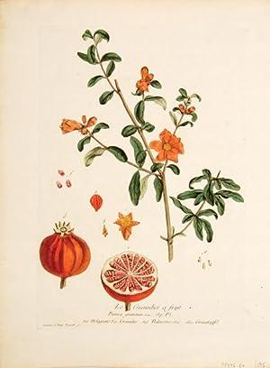 Balaustine - tree. (Pomegranate): REGNAULT, Nicolas François & Genevieve.