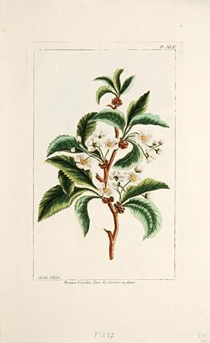 Prunus Cerasus. Linn. Le Cerisier en fleurs.: BUCHOZ, Pierre Joseph.