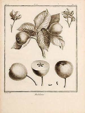 Madeleine. Pl. IV.: DUHAMEL DU MONCEAU, Henri Louis.