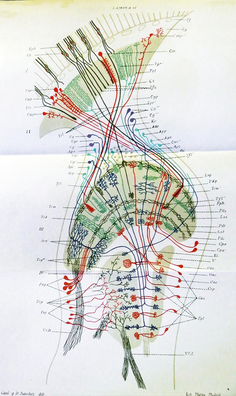 """""""Contribucion al conocimiento de los centros nerviosos de los insectos."""" Offprint from ..."""