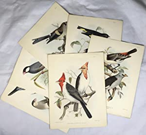 6 Hand Coloured Lithograph Plates [from Part 1 of ?A Monograph of the Weaver-Birds, Ploceidae, an...