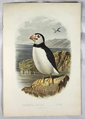 Puffin (Fratercula Arctica) Colour Print. {Plate 40 from Cassell?s Book of Birds]