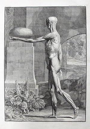 A Single Plate, Musculorum Tabula IX from: Anatomy; Medicine; Anatomical