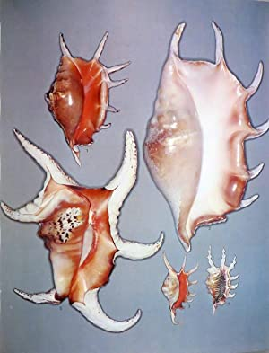 AUSTRALIAN SHELLS Illustrating and Describing 600 Species of Marine Gastropods Found in Australian ...