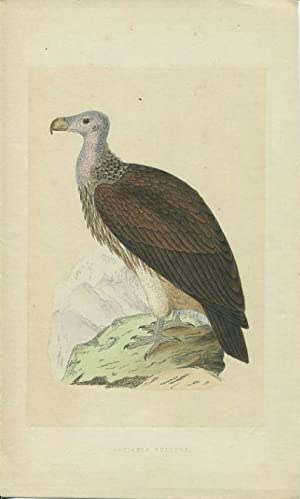 Sociable Vulture (Ohrengeier). Lithographie aus Morris: A History of British Birds.