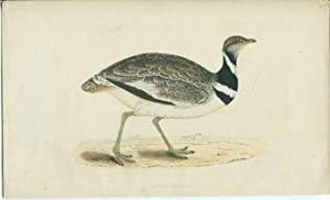 Little Bustake (Zwergtrappe). Lithographie aus Morris: A History of British Birds.